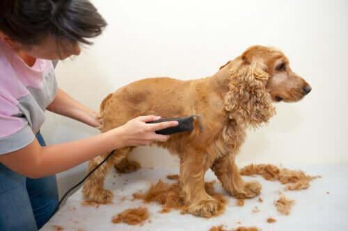 Tosatura del pelo del cane cocker
