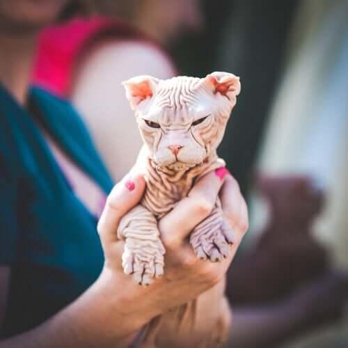 Un cucciolo di gatto Kohona