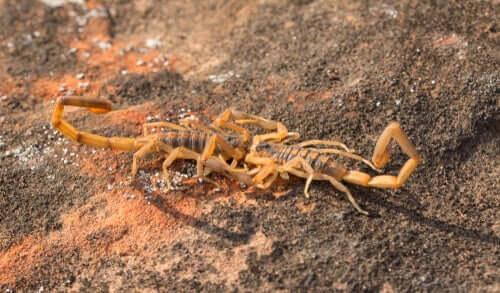 Accoppiamento tra gli scorpioni
