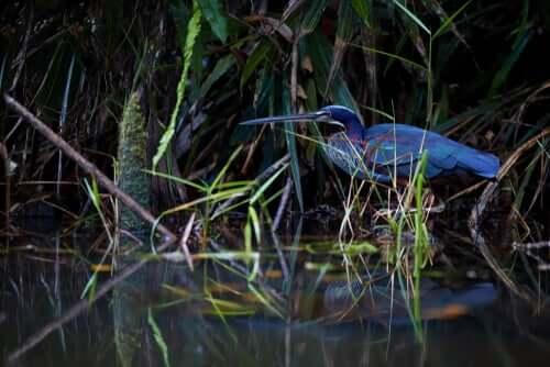 L'airone agami vive nei boschi paludosi