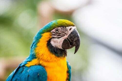 I pappagalli che arrossiscono come gli umani