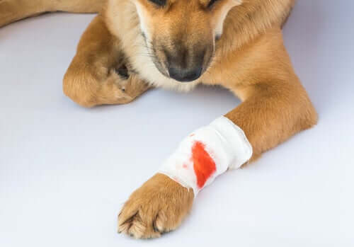 Una ferita può causare il tetano nei cani