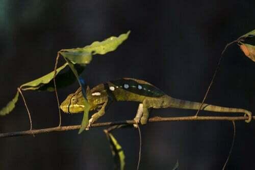 Camaleonte su un ramo