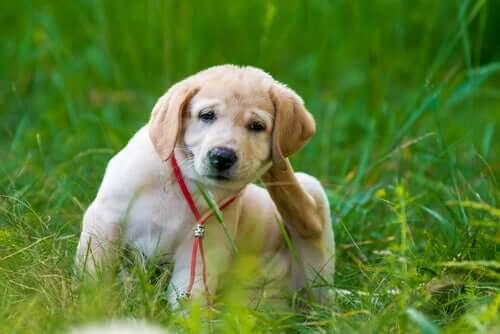 Benefici dei trattamenti orali antipulci per cani