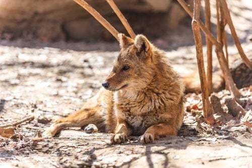 Canis aureus è il nome latino dello sciacallo dorato