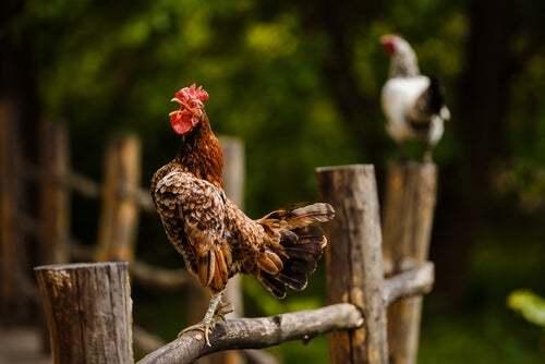 Trucchi per impedire a un gallo di cantare