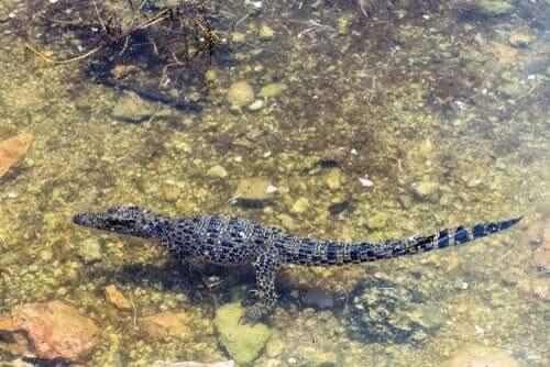Il coccodrillo cubano è il più piccolo al mondo
