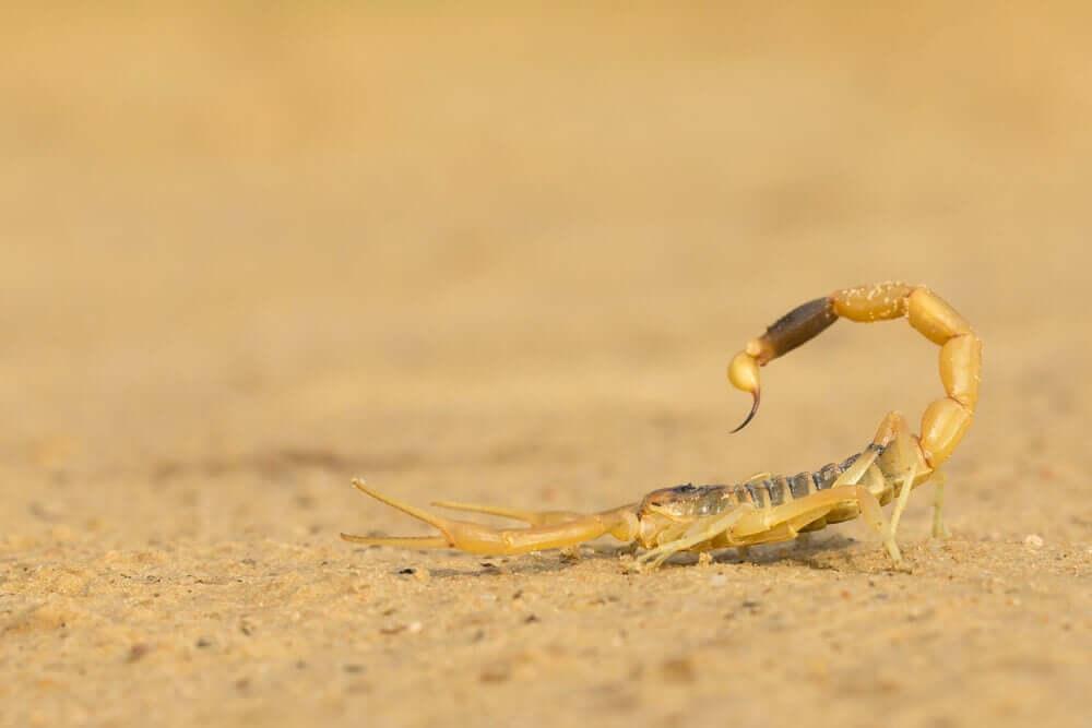 Scorpione in posizione di attacco
