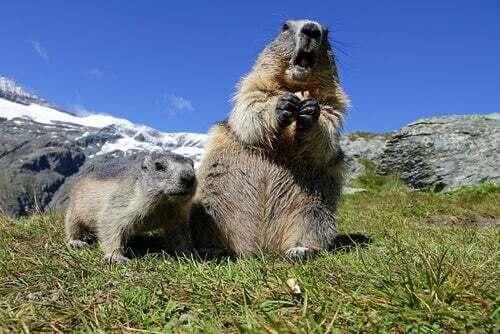 Comportamento della marmotta alpina