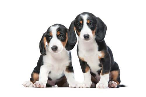 Due cuccioli di segugio della Vestfalia