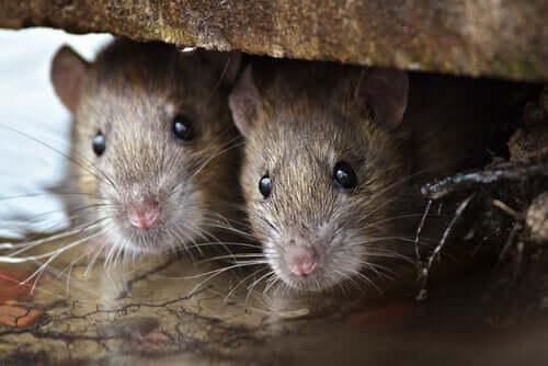 Scoprite la straordinaria intelligenza dei topi