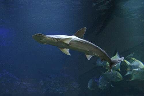 Cosa mangiano gli squali: squalo che nuota con altri pesci