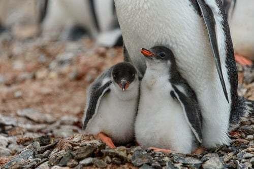 Cuccioli di pinguino