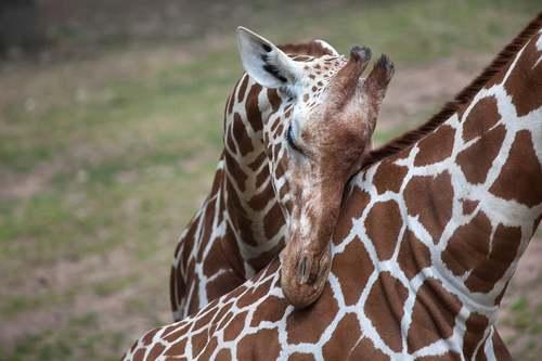 Cucciolo di giraffa con la mamma