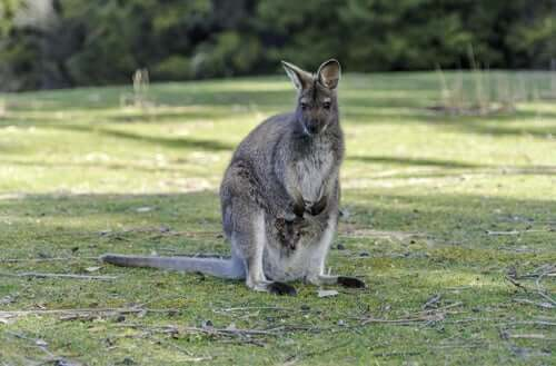 Cuccioli di wallaroo dentro il marsupio