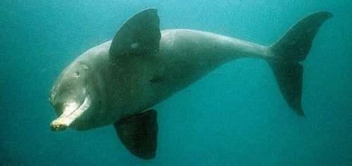 Delfino del Gange riproduzione