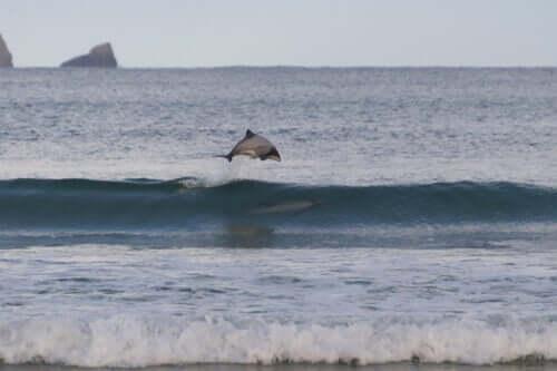 il delfino di Maui è endemico della Nuova Zelanda