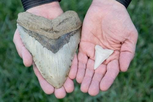 Dente del megalodonte