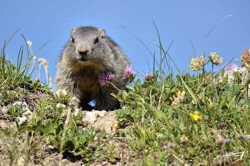 Marmotta alpina che cammina nell'erba