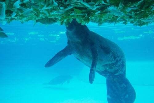 Dugongo fra le alghe