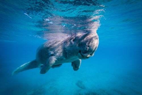 Comportamento e abitudini riproduttive del dugongo