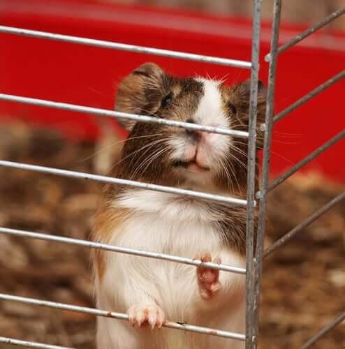 Prendersi cura del porcellino d'India scegliendo la giusta gabbia