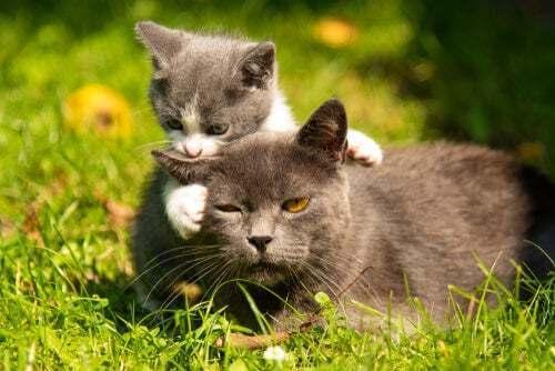 Come spostare la cucciolata della vostra gatta