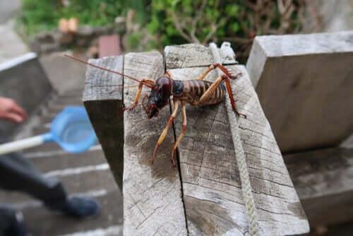 Il weta è un insetto enorme