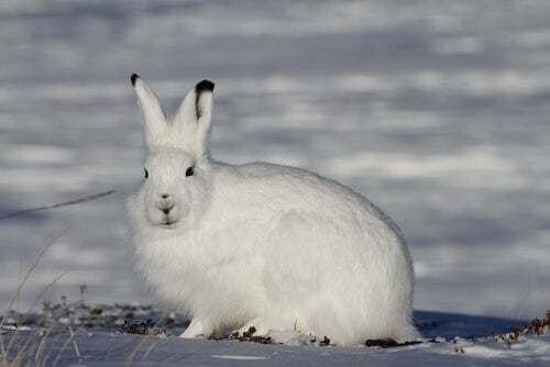 Lepre artica neve