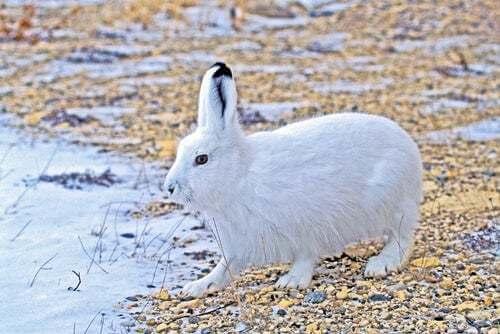 Lepre artica bianca