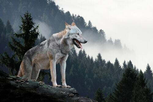 Lupo Yellowstone specie chiave