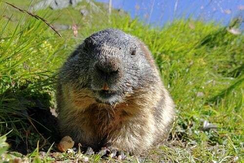 Le curiose abitudini della marmotta alpina