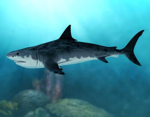 Il megalodonte, uno squalo gigante estinto