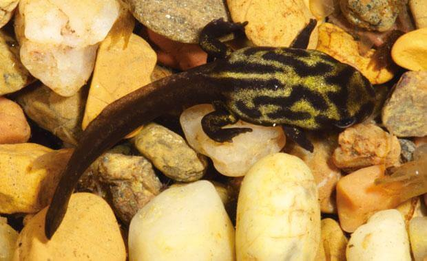 Metamorfosi della rana corroboree