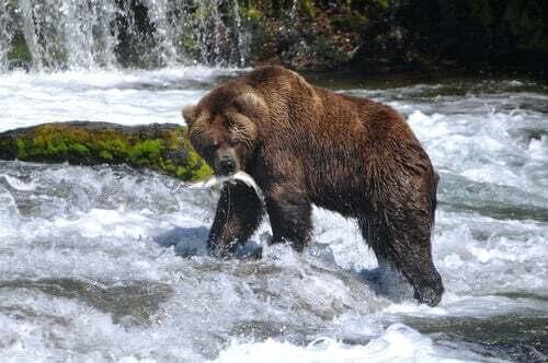 Orso grizzly a caccia