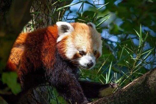 Panda rosso: comportamento e habitat