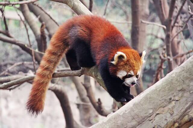 Il panda rosso è una specie arboricola