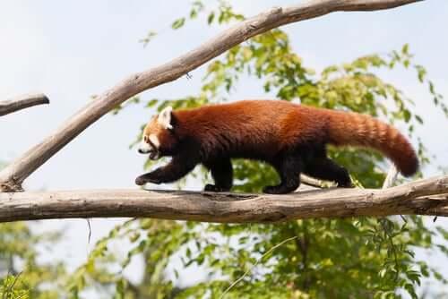 L'habitat di questo orso è costituito dai boschetti di bambù dell'Himalaya