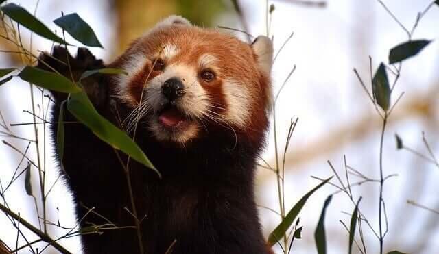 I colori della sua pelliccia contribuiscono a far assomigliare il panda rosso a un procione