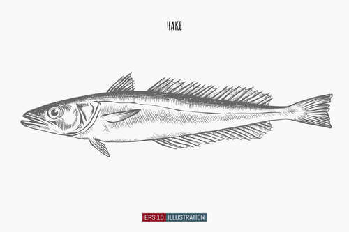 Pesce nasello: disegno