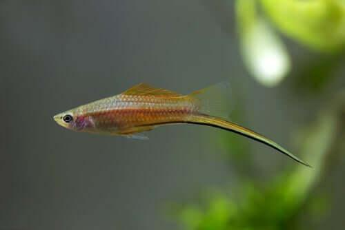 Esemplare di pesce portaspada nuota nell'acquario.