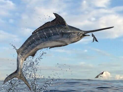 Pesce spada che attacca un pesce volante