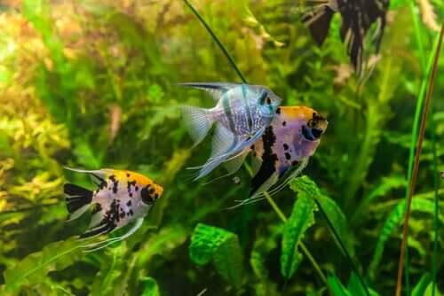 Quanto vivono i pesci nell'acquario?