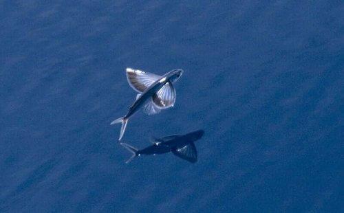 Pesci volanti: le 3 specie più comuni