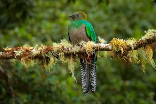 Quetzal femmina su un ramo