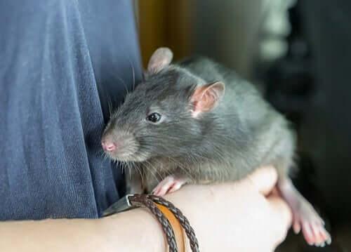 Vorreste un ratto come animale domestico?