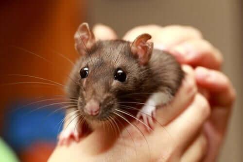 Ratto marrone in mano al proprietario