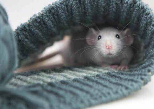 Ratto domestico bianco