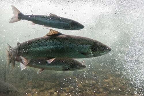 Il virus infettivo dell'anemia del salmone