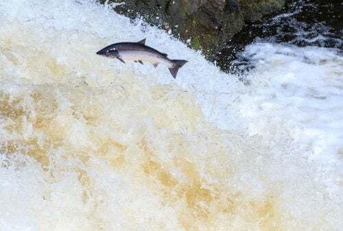 Salmone che salta durante la migrazione